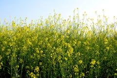 芥末厂和花美丽的景色  免版税图库摄影
