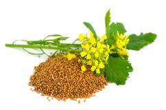 芥末花和种子。 免版税库存照片