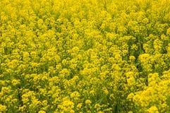 芥末领域在克什米尔,印度 库存照片