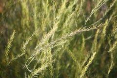 芦笋新鲜的绿色灌木  免版税库存图片