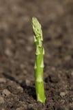 芦笋绿色生长唯一矛 库存图片