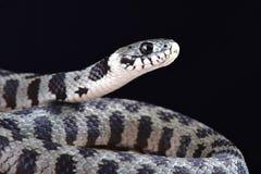芦粟草蛇Natrix natrix schweizeri 免版税库存照片