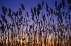 芦苇剪影在日落的沼泽,特拉华湾, DE 免版税库存图片