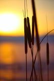 芦苇剪影在日落的 免版税库存图片