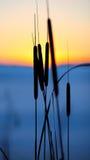 芦苇剪影在日落的 库存图片