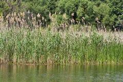 芦苇和河 库存照片