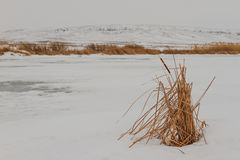 芦苇在一个冻湖 库存照片