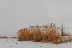 芦苇在一个冻湖 库存图片