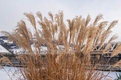 芦苇在冬天 免版税图库摄影
