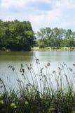 芦苇在池塘 库存照片
