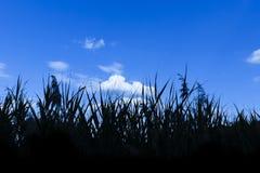 芦苇在池塘 免版税库存图片