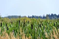 芦苇在沼泽 库存图片