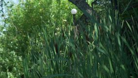 芦苇在湖 影视素材