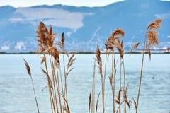 芦苇在湖 库存图片