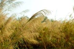 芦苇在秋天 库存照片
