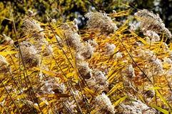 芦苇在秋天 免版税库存图片