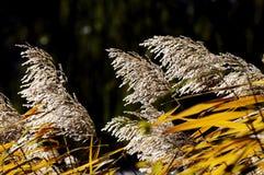 芦苇在秋天 免版税图库摄影