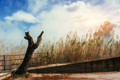 芦苇在秋天 免版税库存照片