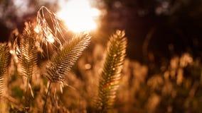 芦苇在阳光下为文本间隔 库存图片