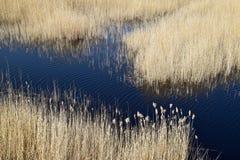 芦苇属四季不断的草在沼泽地 免版税库存照片