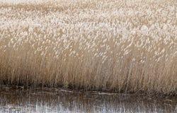 芦苇属四季不断的草在沼泽地 免版税库存图片