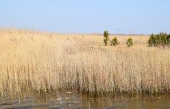 芦苇属四季不断的草在沼泽地 免版税图库摄影