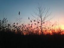 芦苇属草和一棵树在日落期间 库存照片
