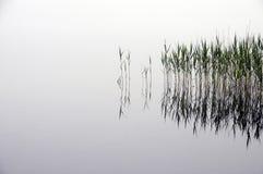 芦苇床和雾,在水中 库存图片