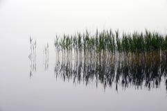 芦苇床和雾,在水中 免版税库存照片