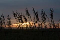 芦苇现出轮廓反对日落天空 免版税库存照片