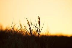 芦苇现出轮廓反对早晨天空 免版税库存图片
