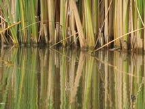 芦苇的反射在池塘 免版税库存图片