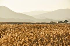 芦苇的领域在韩国 免版税库存图片