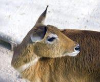 芦苇魔鬼的哺乳动物的藤茎尼罗苏丹人沼泽山羊非洲丛林  免版税图库摄影