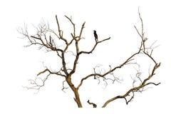 芦苇鸬鹚在一个死的分支栖息 免版税库存照片