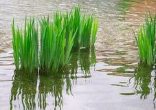 芦苇,反射在河 库存照片