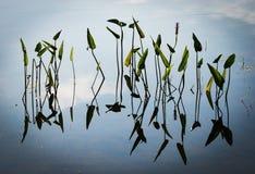 芦苇,湖箭头,加拿大 2005年 免版税库存图片