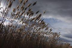 芦苇,纸莎草,反对多云天空 秋天横向 免版税图库摄影
