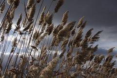 芦苇,纸莎草,反对多云天空 秋天横向 免版税库存图片