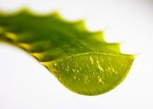 芦荟叶子被切的维拉 免版税库存照片