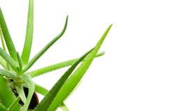 芦荟叶子被隔绝的白色背景 皮肤护理和护发的有用的草药 免版税库存照片