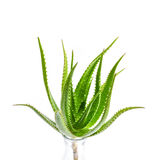 芦荟在白色背景隔绝的维拉植物 免版税库存照片