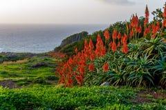芦荟开花在海洋附近的维拉花在马德拉岛的海岛上的日出 免版税库存照片