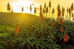 芦荟开花在海洋附近的维拉花在马德拉岛的海岛上的日出 库存照片