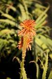 芦荟开花的维拉 库存照片