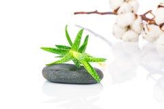 芦荟植物、温泉石头和棉花枝杈 库存图片