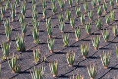 芦荟种植园在费埃特文图拉岛 免版税库存照片