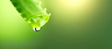 芦荟维拉从芦荟绿色叶子特写镜头的胶凝体水滴 Skincare概念 Aloevera新鲜的汁液宏观射击下落  免版税库存照片