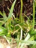 芦荟维拉是用于许多事的一棵多功能植物 免版税图库摄影