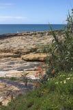 芦荟维拉花卉生长沿海在普腊亚da Luz, Portu 免版税库存图片